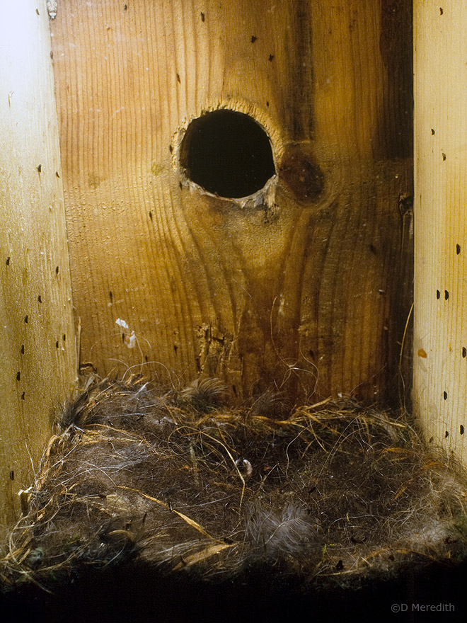 Bird Fleas in the nestbox.