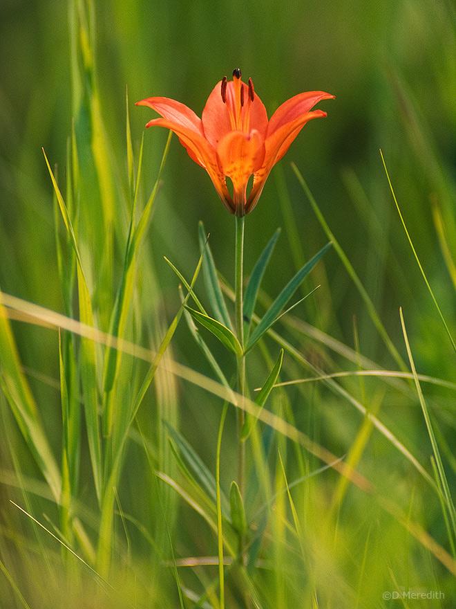 Saskatchewan's Provincial Flower