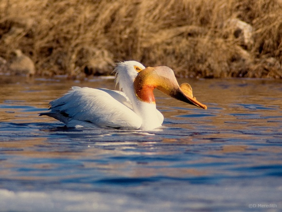 American White Pelican with fish.