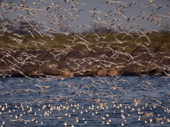 Black-headed Gull roost in winter.