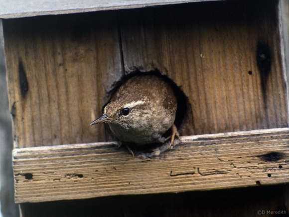 Jenny Wren is a common English name.