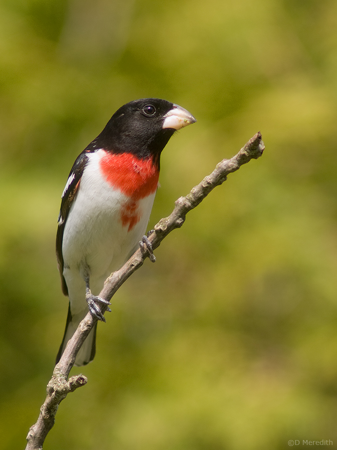 Rose-breasted Grosbeak.