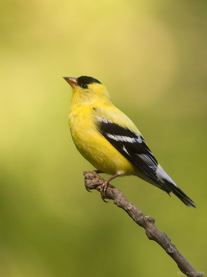American Goldfinch (male).