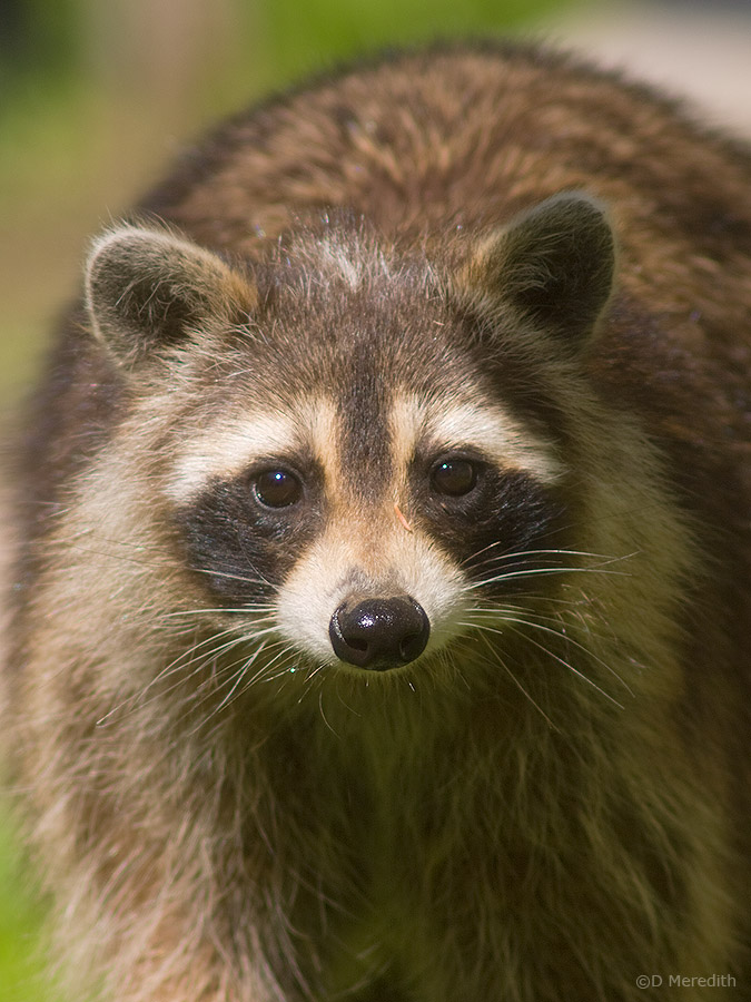 Racoon or Raccoon?