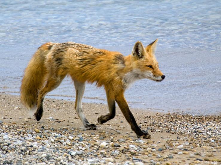 Trotting Red Fox.