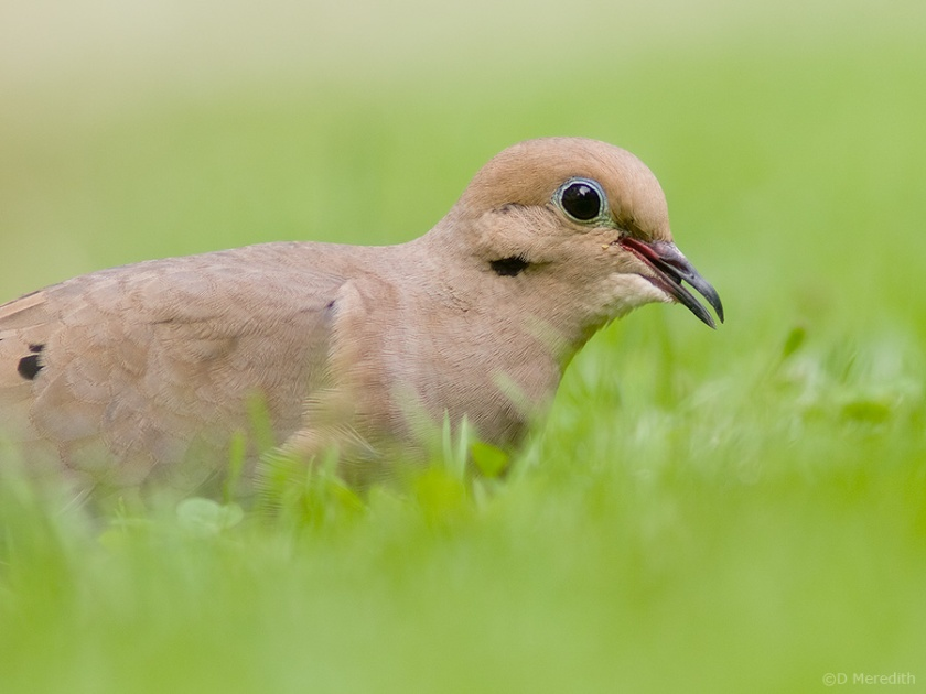 Portrait of a Mourning Dove.
