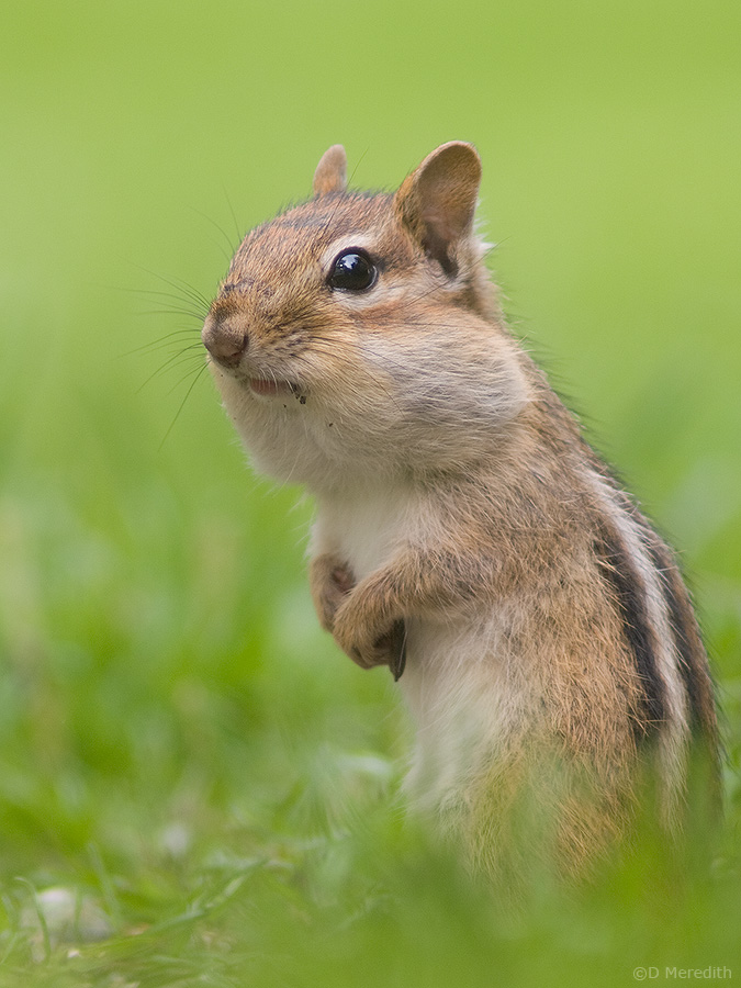 An Eastern Chipmunk with stuffed cheeks.