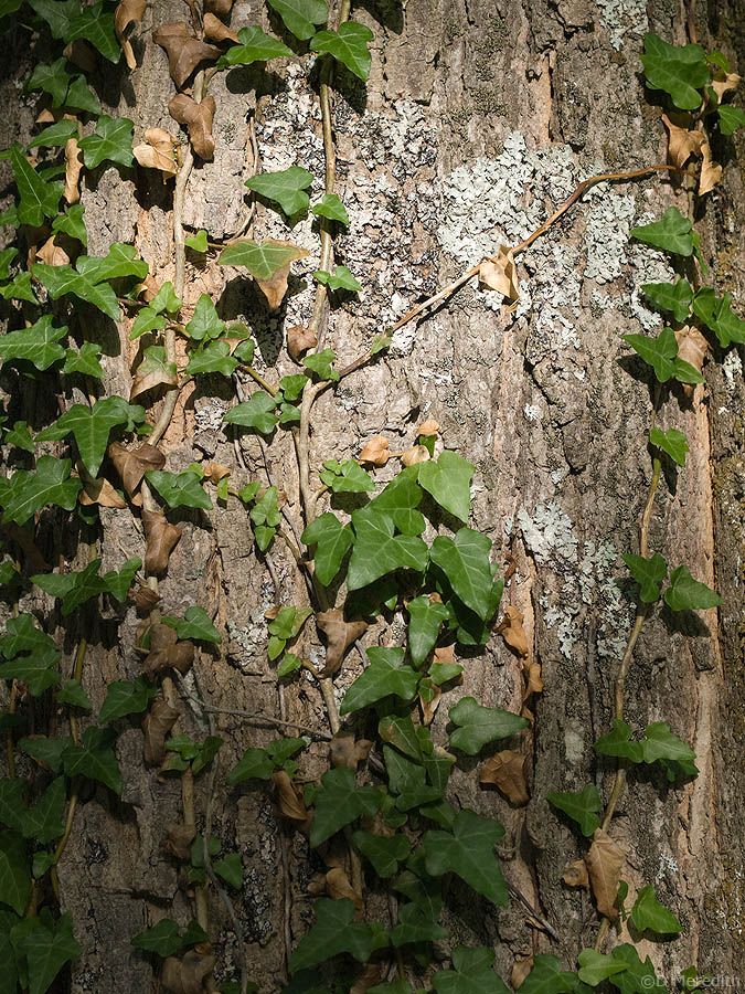 Ivy leaves and Lichen.