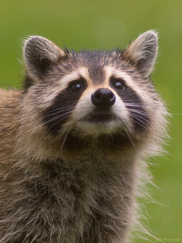 Raccoon with spiky wet fur.