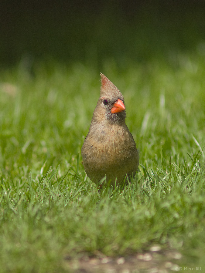 Northern Cardinal female..