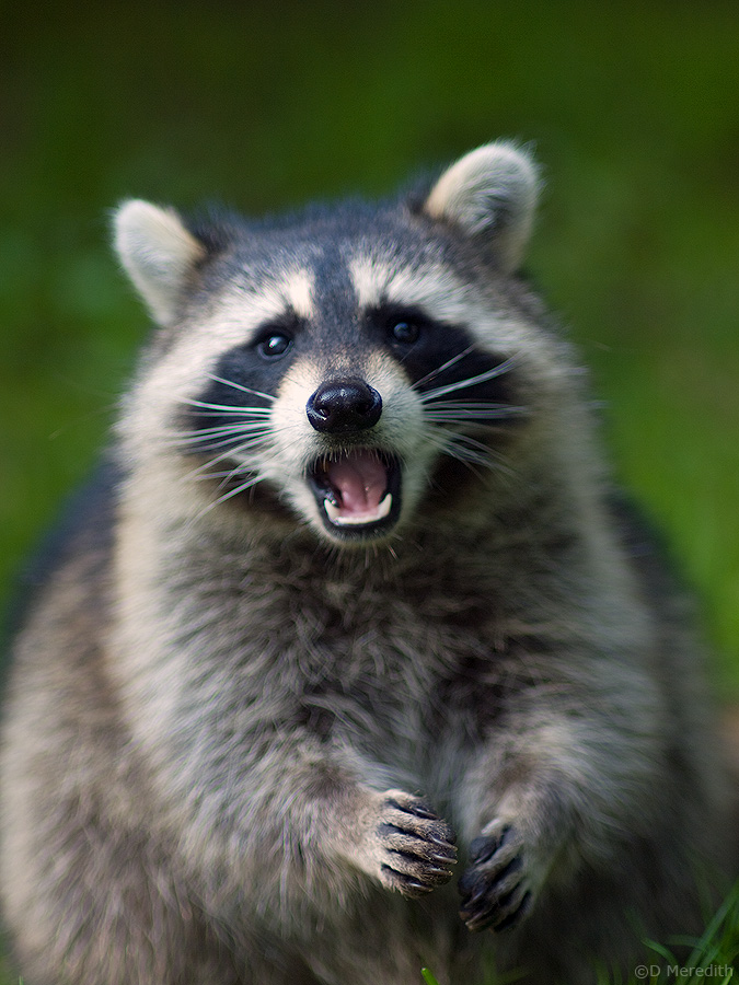 A wild Racoon.