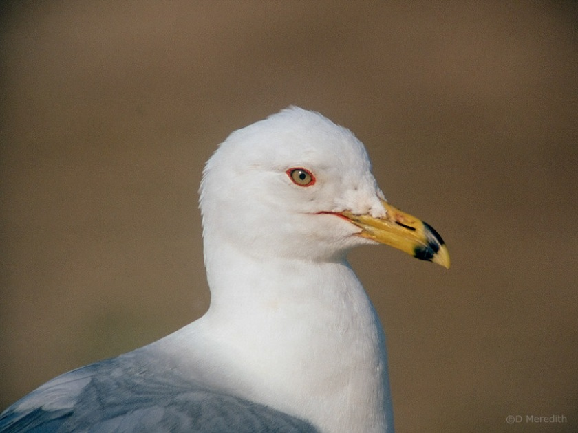 Portrait of a Ring-billed Gull.