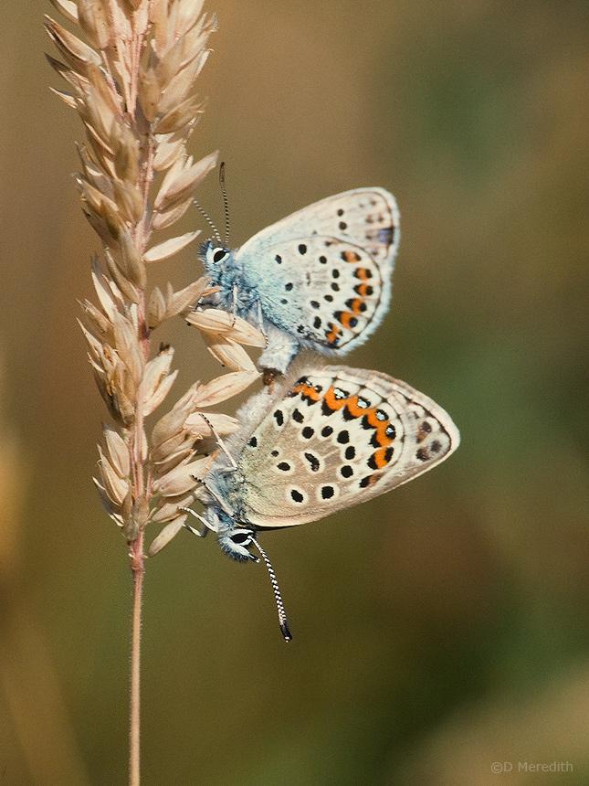 Silver-studded Blue Butterflies mating.