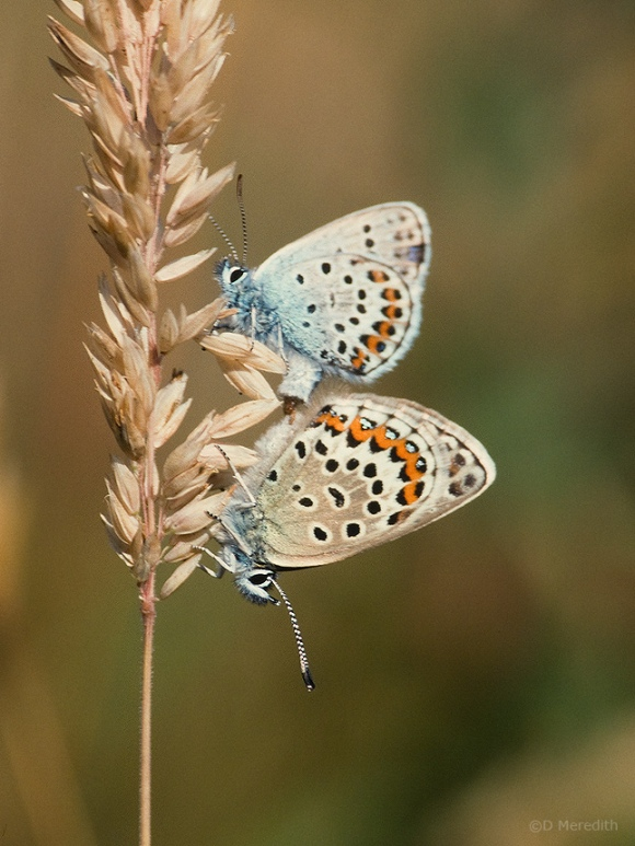Silver-studded Blue Butterflies mating.