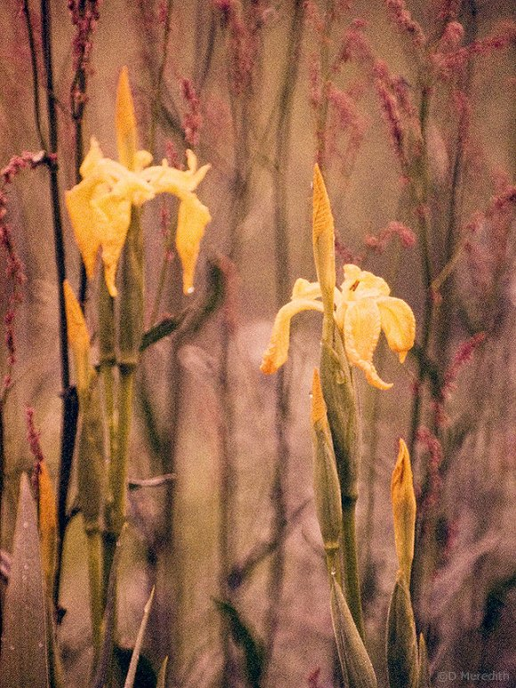 Also known as Yellow Iris and Water Flag.