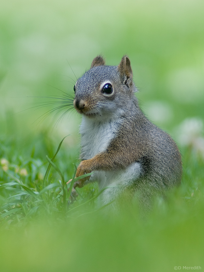 Juvenile American Red Squirrel.