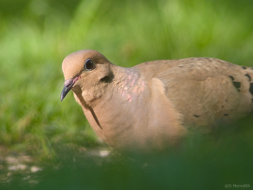 Mourning Dove portrait.