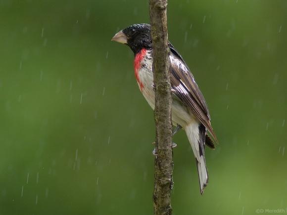 Rose-breasted Grosbeak in the rain.