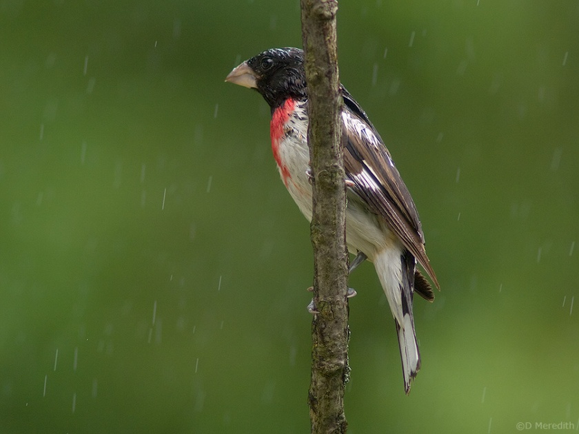 Rose-breasted Grosbeak in the rain.
