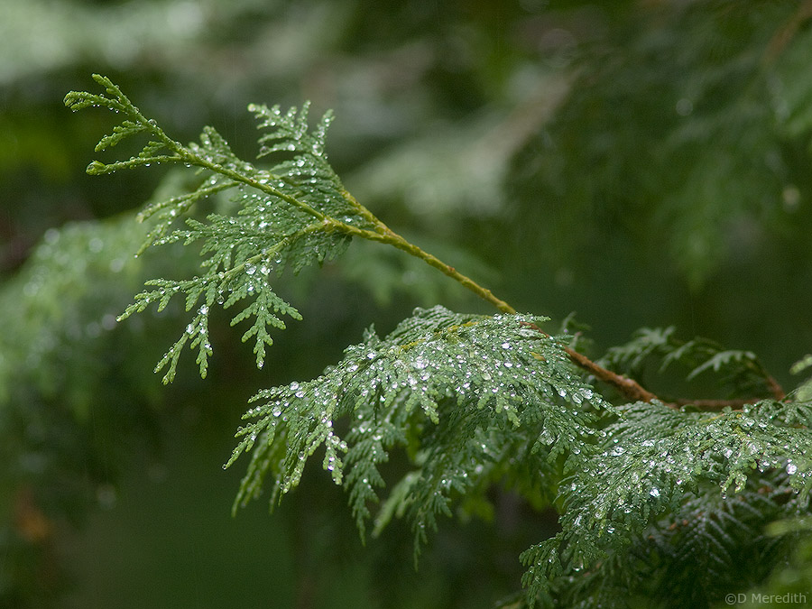 Raindrops on a Cedar tree.