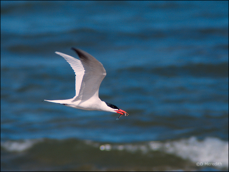 Caspian Tern with catch.