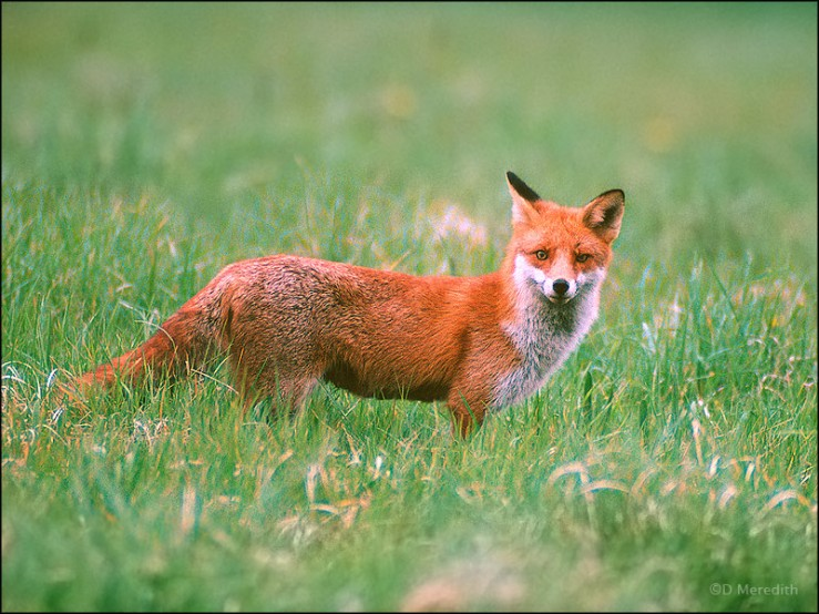 Hunting Red Fox.