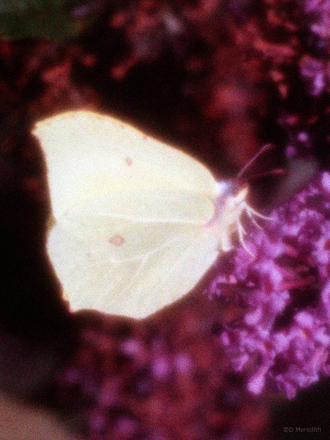 Brimstone Butterfly in soft focus.