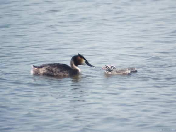 Adult Great Crested Grebe with young.