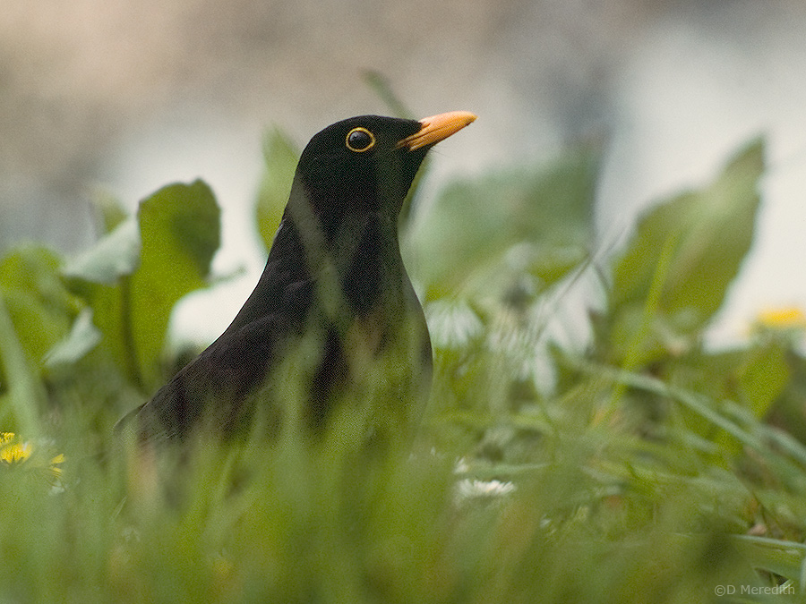 Male European Blackbird.