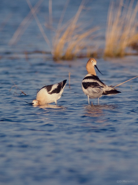 Two American Avocets.