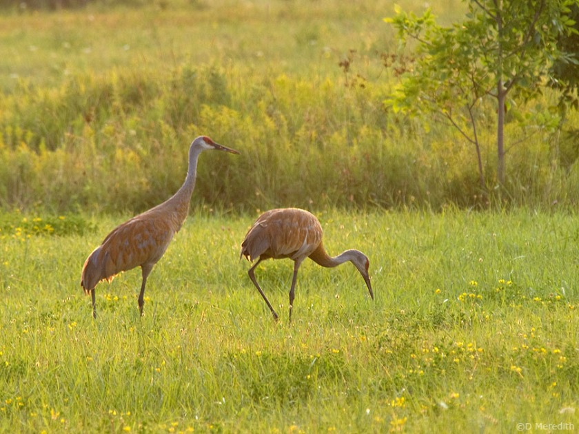 Sandhill Cranes at sunrise.