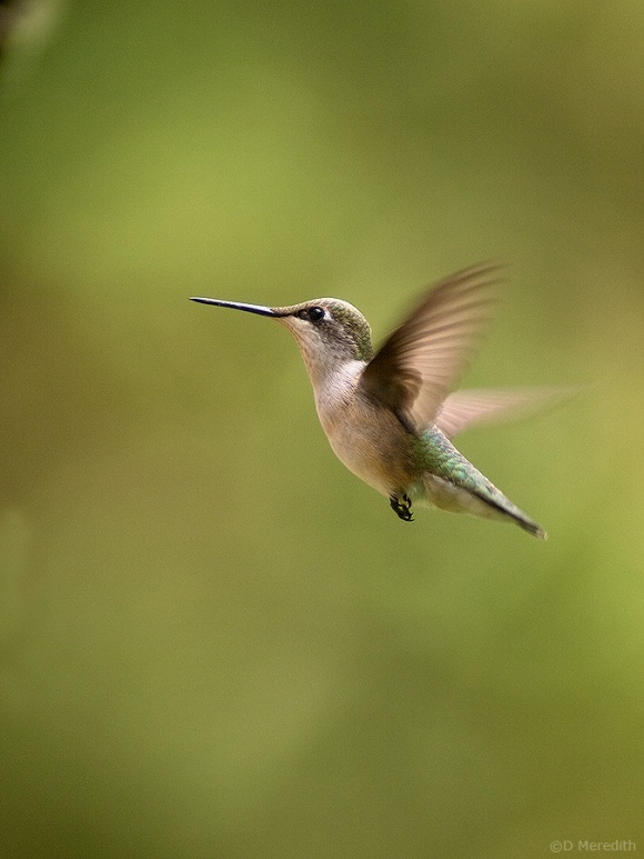 Ruby-throated Hummingbird juvenile.