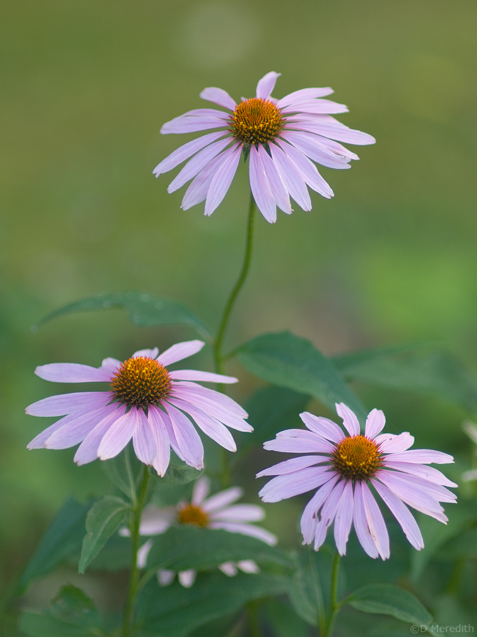 Coneflower blooms.