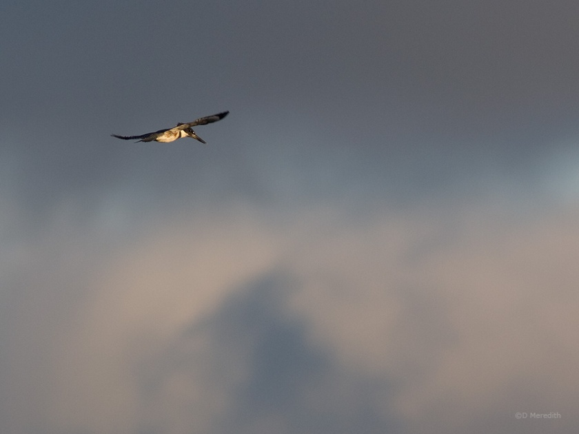 Belted Kingfisher in front of clouds.