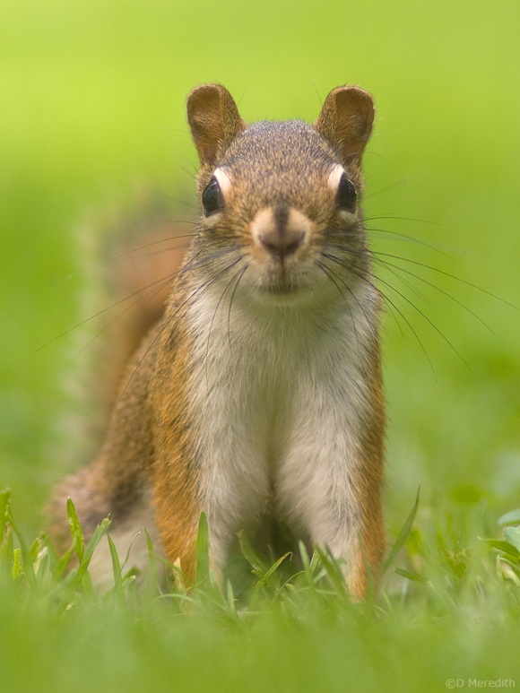 American Red Squirrel.