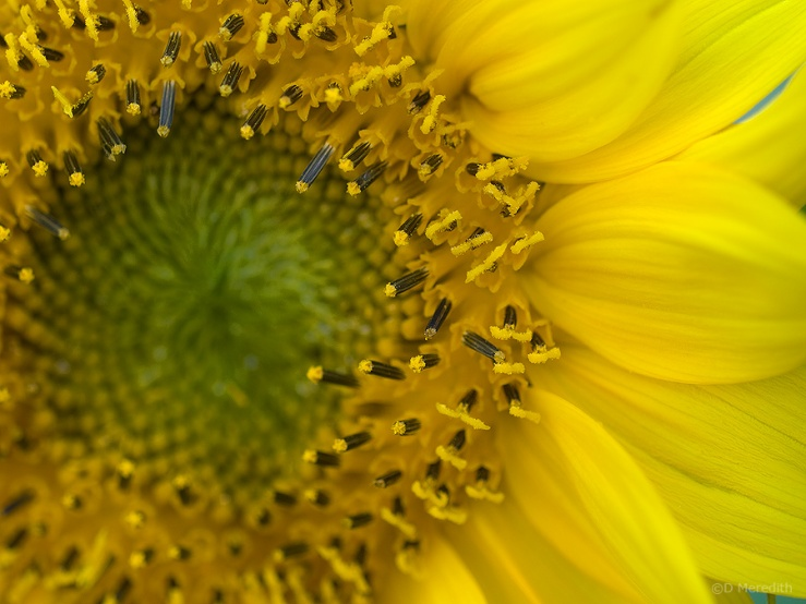 Close up of a Sunflower.