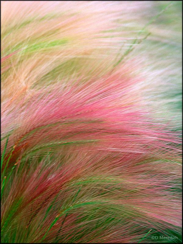 Foxtail Barley seed heads.