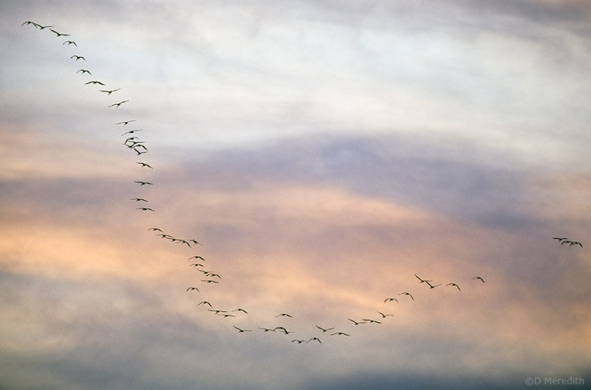 Flying to roost at sunset.