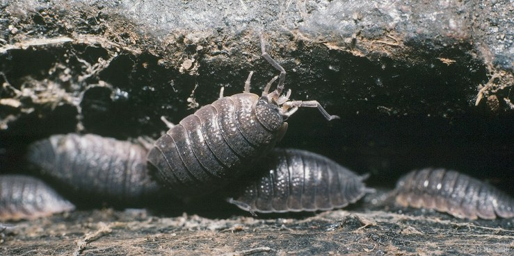 Common Rough Woodlouse.