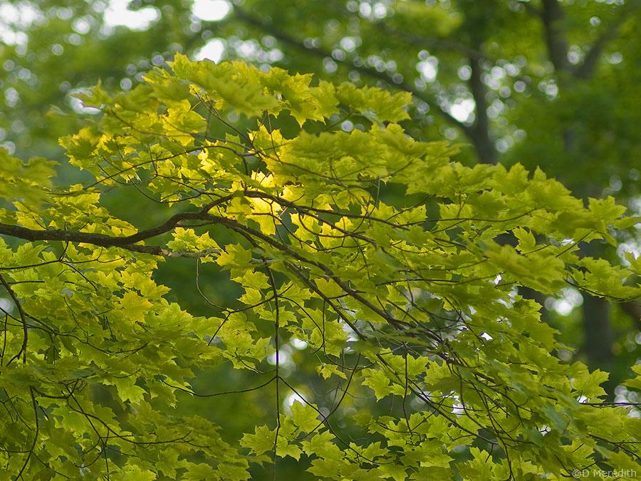 Backlit Maple branch.