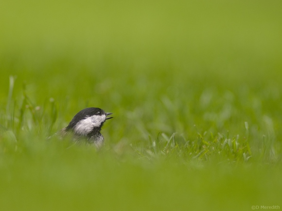 Black-capped Chickadee in the grass.