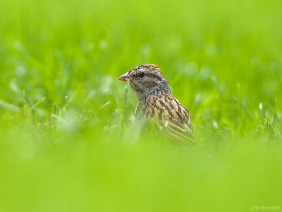 Chipping Sparrow juvenile.