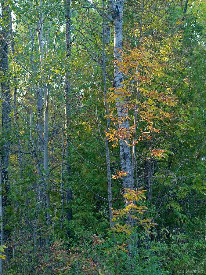 Autumn colour in golden light.