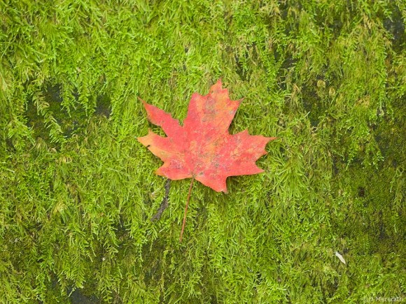 A red Maple leaf on moss.