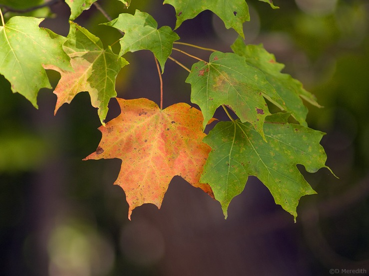 Maple leaves on the first full day of autumn.