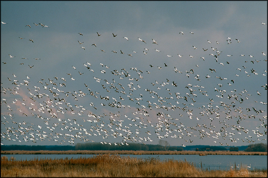 A flock of Snow Geese taking flight.