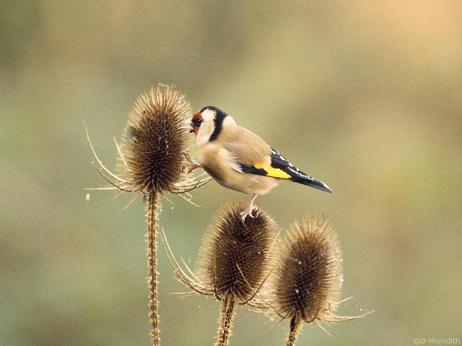 Goldfinch feeding on Teasel.