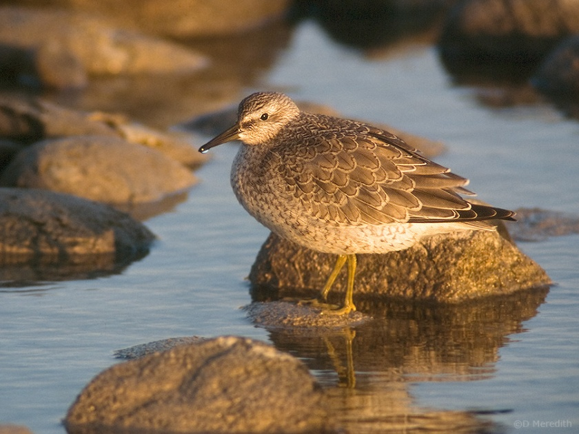 Red Knot in golden light.