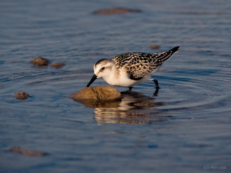 Feeding juvenile Sanderling.