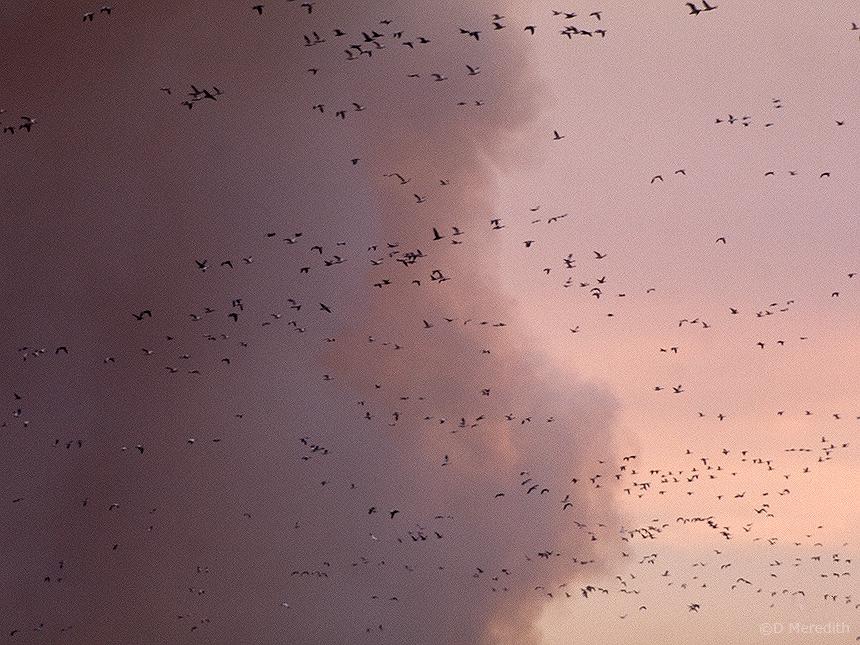 Smoke and Snow Geese.